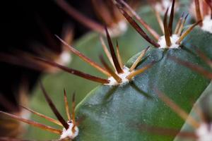 cactus with sharp thorns closeup photo
