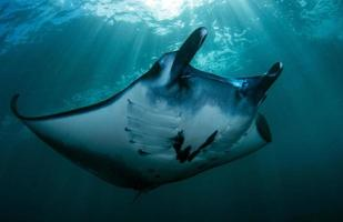 Manta Rays at the cleaning station photo