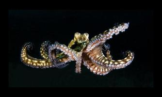 Giant Octopus in the open sea photo