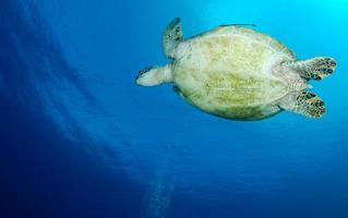 tortuga verde cerca de la isla apo. foto
