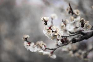 flor de albaricoque foto