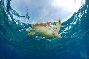 Green Sea Turtle near Apo island. photo