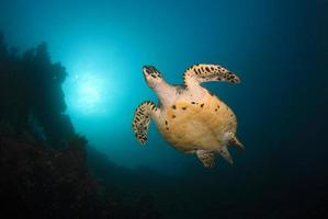 Hawksbill Sea Turtle at coral reefs. photo