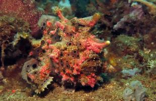 Warty Frogfish is hunting in corals. photo