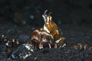 pulpo Wonderpus en el fondo del mar. foto