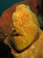 Giant Frogfish is hiding in sponges. photo