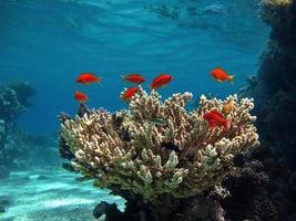 hermosos arrecifes de coral del mar rojo foto