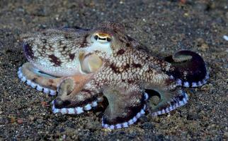Coconut Octopus on the seabed in the night. photo