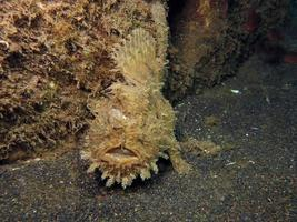 Hispid or Shaggy Frogfish hiding in the garbage. photo