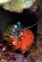 Mantis Shrimp with eggs. photo