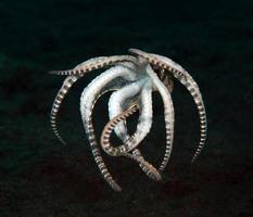 un raro pulpo imitador en el mar de bali. foto