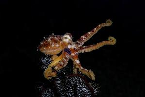 A rare Octopus Mototi in the Bali sea. photo