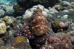 Day Octopus swims along a coral reef. photo