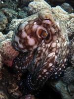 Day Octopus in a coral reef. photo