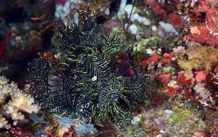 A rare Lacy Scorpionfish hiding in a coral reef. photo