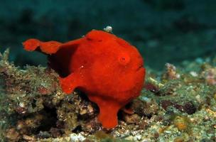 Painted Frogfish hunting. photo