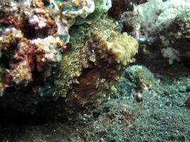 pulpo de día en un arrecife de coral. foto
