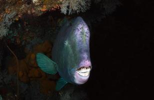 Giant Parrotfish hiding inside Liberty wreck. photo