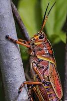Eastern lubber grasshopper, Romalea microptera photo