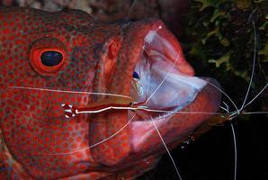Coral Grouper doing cleaning. photo