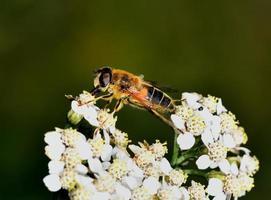 Néctar de hoverfly alimentándose de una flor blanca foto