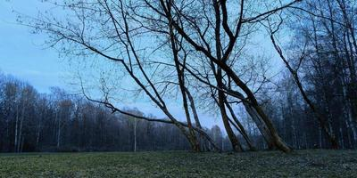 misty spring morning in the forest panorama in the blue hour photo