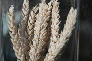 close up of brown and golden dry ears wheat in the tall glass flask photo