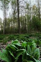 growing green plant with leaves close-up in the morning forest photo
