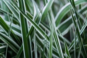 close up of long stems of green grass in the spring garden photo