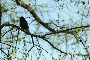 common starling on a tree branch against the blue sky in the park photo