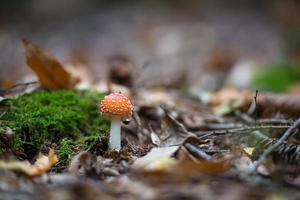 Amanita muscaria fungusin autumn forest photo