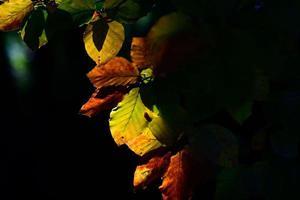 hojas de otoño iluminadas por el sol desde atrás foto