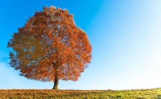 Beech in autumn photo