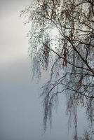 ramas de abedul en el cielo foto