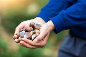 castañas en la mano recién recogidas en el bosque foto