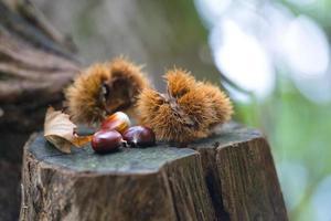 Erizo castaño con castañas en el bosque de otoño foto