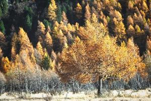 alerce en otoño dorado. foto
