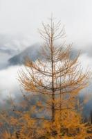 Larch on a gloomy autumn day in the mountains photo