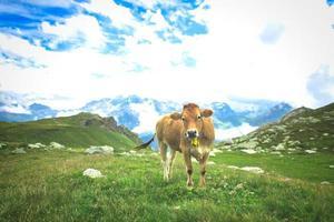vacas en los pastos de los alpes suizos foto