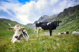 las vacas suizas descansan en el pasto foto