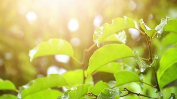 Las hojas de los árboles se mojan después de estar expuestas a la lluvia por la mañana. foto