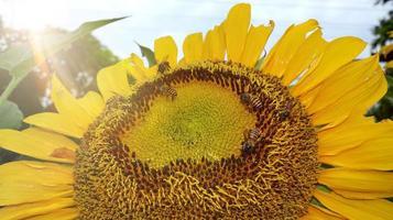 girasol, expuesto a la deslumbrante luz de la mañana foto