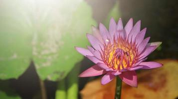 Cierre brillante de un solo loto rosa en un estanque con luz solar foto