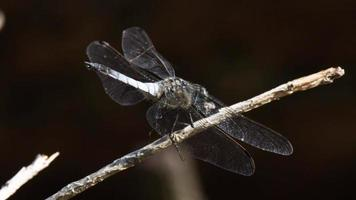 Blue dragonfly perched on a branch video