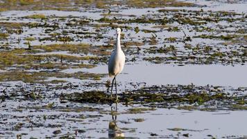 egret fågel i sjön på jakt efter mat video