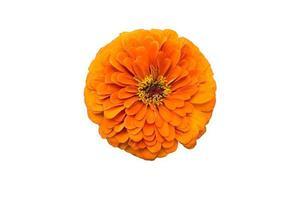 Big orange Zinnia flower isolated on white background photo