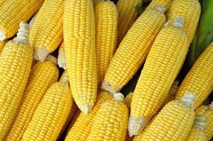 Fresh organic corn photo