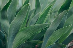 hojas verdes, planta tropical que crece en estado salvaje foto