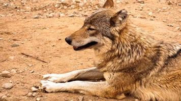 The wild wolf lies and looks into the distance. Wild animals concept photo