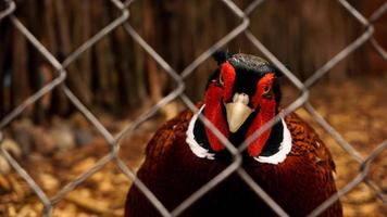 Hunting pheasant in a cage. Birds at the zoo or farm photo